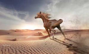 Horses Middle East