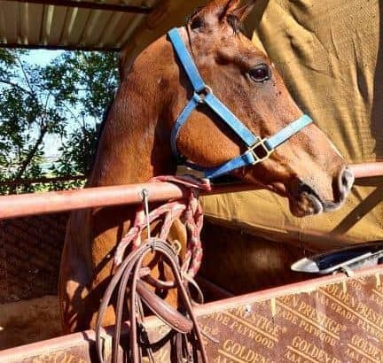 Pure Arabian Gelding up for Half Lease
