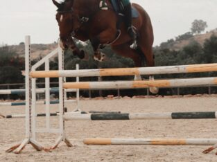 6YO TOP SJ/EVENTER PROSPECT BY OBOS QUALITY X CRUI