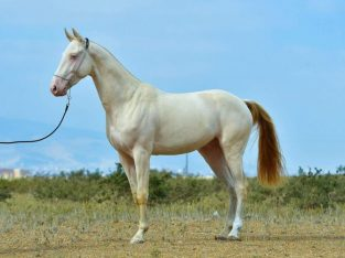 Thoroughbreed Akhal-Teke. The Beatifulest horse