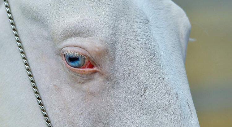 Thoroughbreed Akhal-Teke. The Beatifulest horse