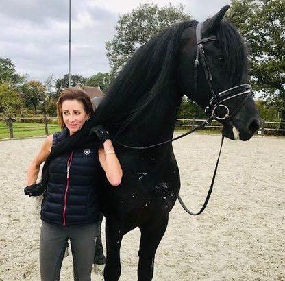 forever home friesian gelding horse